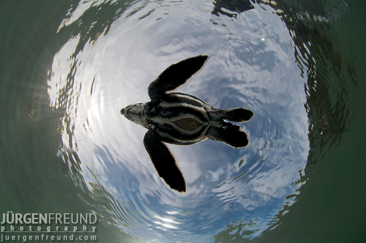 Leatherback sea turtle (Dermochelys coriacea) underbelly with remaining egg sac still prominent
