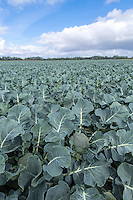 Calabrese ready for harvest - Lincolnshire, September