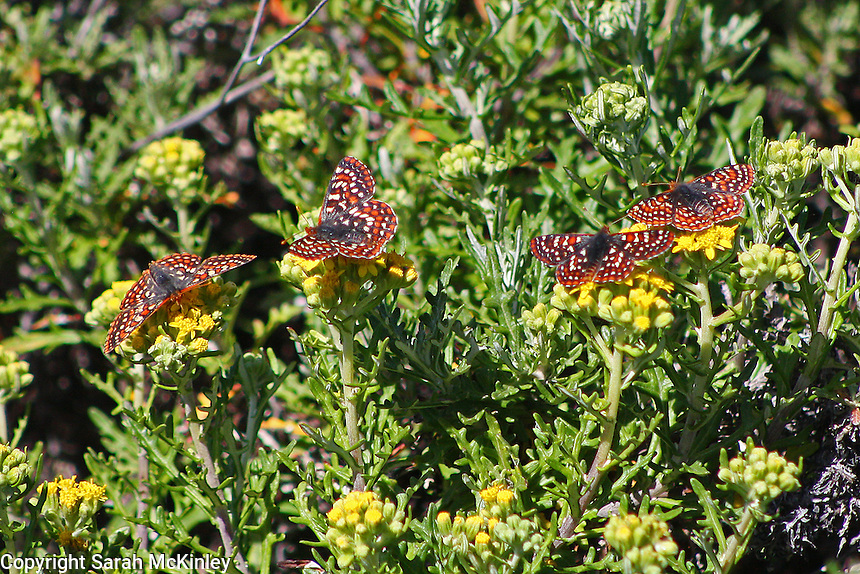 A quartet of checkerspot butterflies have lined up to drink nectar from yellow flowers.