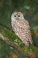 Barred Owl in Bigleaf Maple tree, Washington