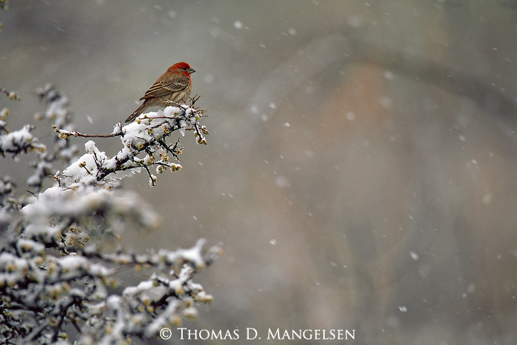 At odds with its surroundings, a house finch hunkers down among mesquite thickets as an uncommon snow hits the high desert of southern Arizona in February.