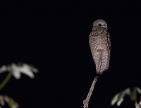 I often see potoos during night drives.