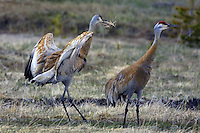 The Sandhill Crane (Grus canadensis) is a large crane of North America. The oldest unequivocal Sandhill Crane fossil is &quot;just&quot; 2.5 million years old. Anatomically modern humans originated in Africa about 200,000 years ago. 2.3 million years after the crane.<br />