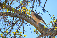 Cooper's Hawk (Accipiter cooperii), male in a tree at the Desert National Wildlife Refuge outside Las Vegas, Nevada.