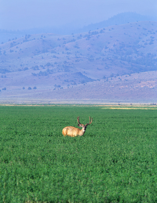 Buck deer in field of alfalfa. Near Paisley, Oregon