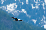 A bald eagle soars in the wind with mountains in the background, December 23, 2009, Brackendale, BC, Canada.  Bald eagles congregate in this area at this time every year to feed on salmon carcasses.  Photo by Gus Curtis.