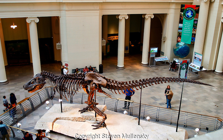 On May 17, 2000 The Field Museumin Chicago, Illinois, unveiled Sue, the largest, most complete, and best preserved T. rex fossil yet discovered...The skeleton on display is the real thing. Not a plastic model or a plaster cast. Not a patchwork or composite of bones from different specimens...Sue stands 13 feet high at the hips and 42 feet long from head to tail. One of the only pieces of Sue that is not mounted is her 5-foot-long skull, which is too heavy to be placed on the steel armature that holds together her more than 200 fossilized bones. In its place, the Museum has installed a cast replica. Sue?s real skull is on display in an exhibit on the second-floor balcony overlooking Stanley Field Hall. Here, visitors can get an up-close view of Sue?s massive head, as well as some insight into the mounting process and the story of how Sue ended up at The Field Museum. In addition, visitors can view animated CT scans of the skull and touch a variety of casts of Sue?s bones, including a rib, forelimb and tooth.