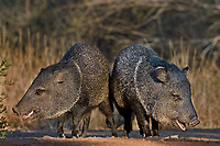 650520231 wild javelina or collared peccaries dicolyties on beto gutierrez santa clara ranch hidalgo county lower rio grande valley texas united states