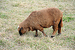 A Brown Sheep Grazing in a Pasture in Londonderry, Vermont USA