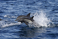 Adult Long-beaked Common Dolphin (Delphinus capensis) in the southern Gulf of California (Sea of Cortez), Mexico.