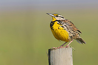 Adult male Eastern Meadowlark (Sturnella magna). Anahuac NWR, Texas. March.