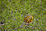 Frog floating in Louisiana wetlands swamp