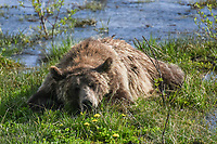 At some point in time, everyone needs a nap- including Grizzly Bears. Here, a grizzly bear in the Teton-Bridger National Forest in Wyoming, takes a  nap after feeding for over an hour.