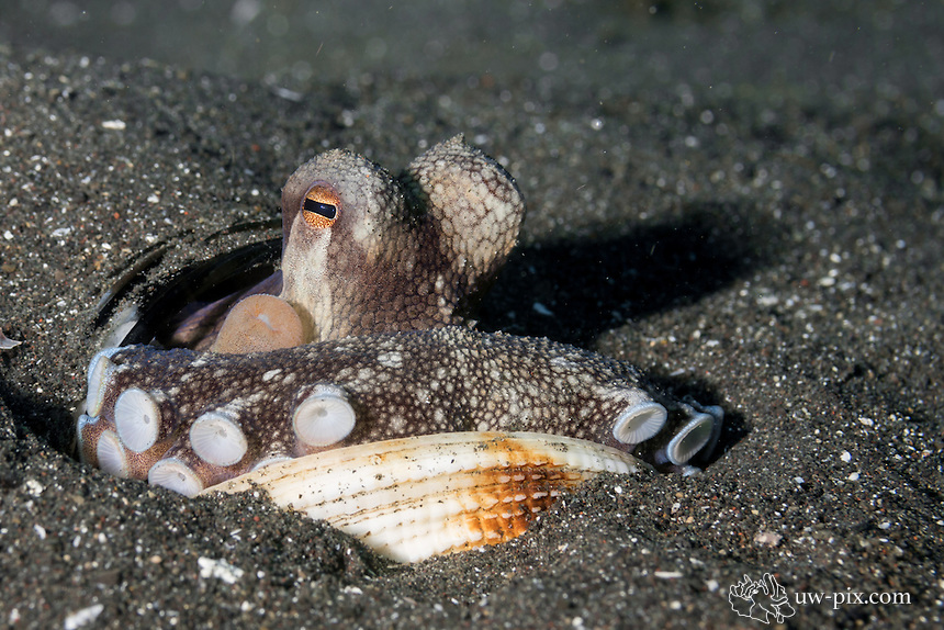 Coconut Octopus with shells resting in sand in the LEMBEH STRAIT