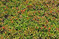 Pattern of bunchberries (Cornus canadensis) <br /> Rivière-au-Tonnerre<br /> Quebec<br /> Canada