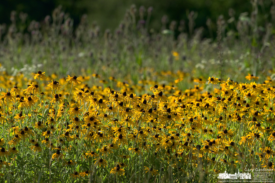 Field of black eyed susans growing in county park prairie