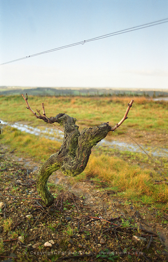 Guyot pruned vines in the vineyard. Coteaux du Layon, Anjou, Loire, France