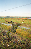 Guyot pruned vines in the vineyard. Coteaux du Layon, Anjou, Loire, France