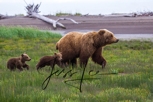 Alaska_Bear Photo Grizzly Bear or brown bear alaska Alaska Brown bears also known as Costal Grizzlies or grizzly bears