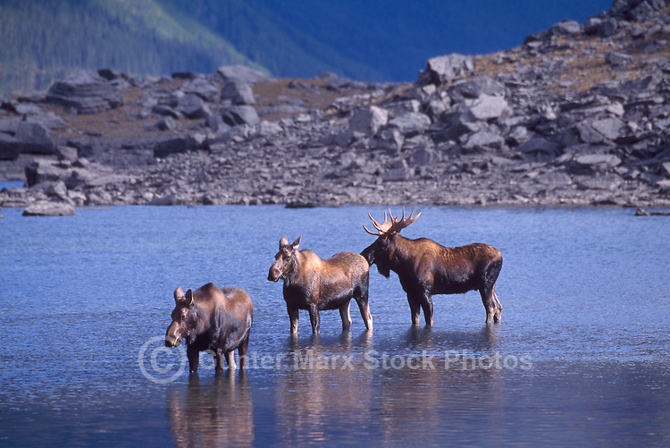 Bull Moose and Two Moose Cows (Alces americana) standing in Lake, Mating Season, Northern British Columbia, Canada