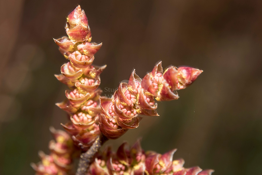 Gagel (Myrica gale)