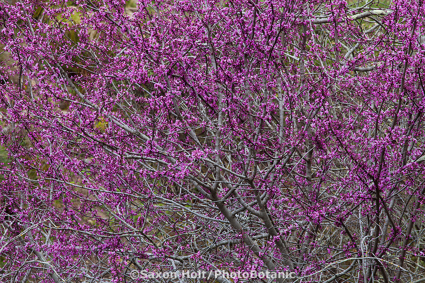 Western Redbud, Cercis occidentalis, small tree in drought tolerant California native plant garden