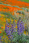 Lupin and California poppies