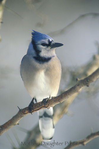 Elegant blue jay in afternoon sun in winter