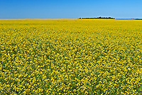 canola field in bloom<br /> Bromhead<br /> Saskatchewan<br /> Canada