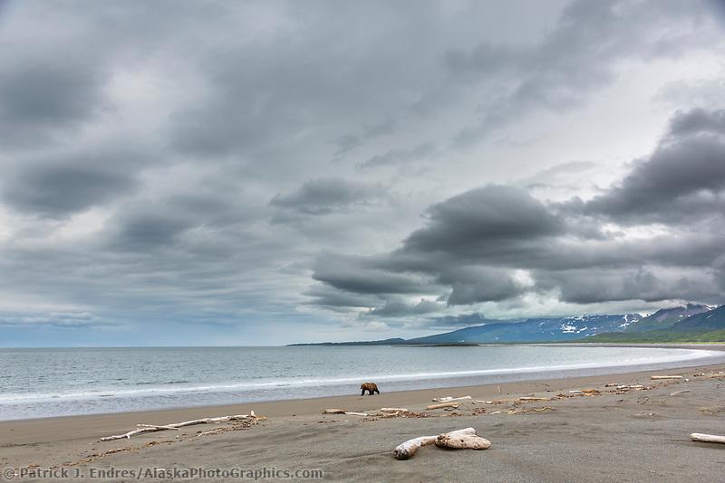Brown bear walks along the water's edge along a beach on the Alaska Peninsula coast, Katmai National Park, Alaska.