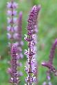 Salvia nemorosa 'Amethyst', late May.
