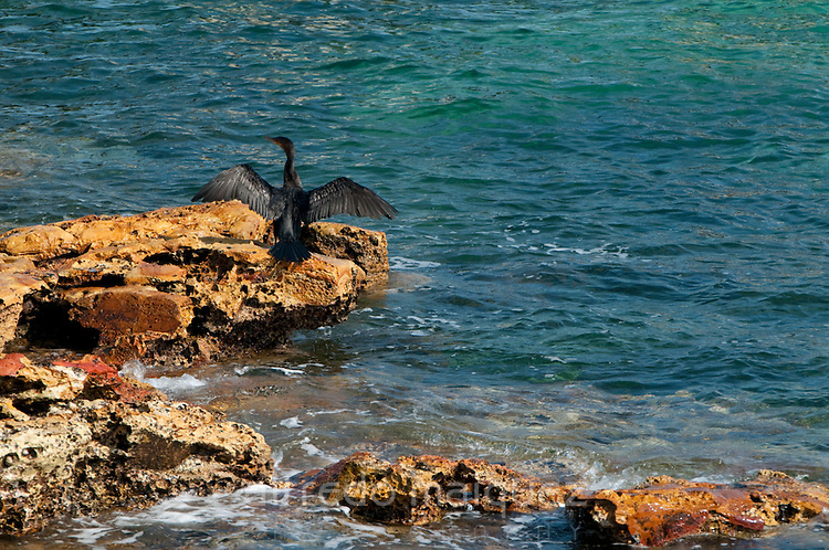 Neotropic Cormorant (Phalacrocorax o. olivaceus) drying its wings on rock at Pacheca Island shore. Las Perlas Archipelago, Panama province,  Panama, Central America.