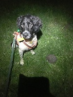 BNPS.co.uk (01202 558833)<br /> Pic:   LouiseWilson/BNPS<br /> <br /> A resourceful sniffer dog is being specially trained to detect hedgehogs - in a bid to save their dwlinding population.<br /> <br /> Henry the springer spaniel locates the prickly creatures so they can be moved out of harm's way ahead of land development projects.<br /> <br /> When he finds one, he quietly sits next to it so his handler can come and investigate, earning a game of fetch as a reward.<br /> <br /> With his remarkable sense of smell, which is 100,000 times more sensitive than a human's, he can detect a hedgehog hidden in a bush 250 yards away.<br /> <br /> The research project, the first to its type, is being overseen by Lucy Bearman-Brown, senior lecturer in Animal Science at Hartpury University