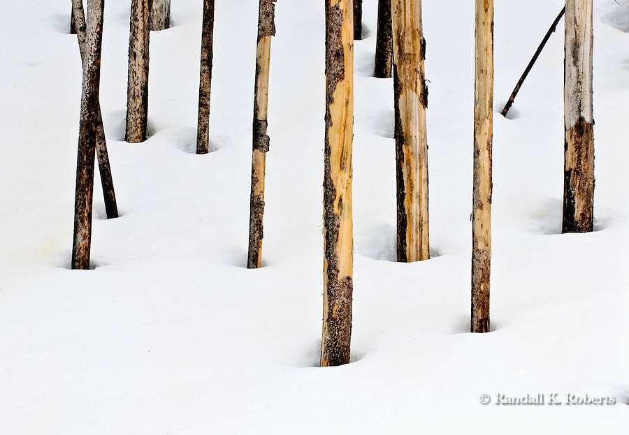 Trunks of trees scarred by fire form a pattern in the snow on a hillside in Yellowstone National Park, Wyoming.