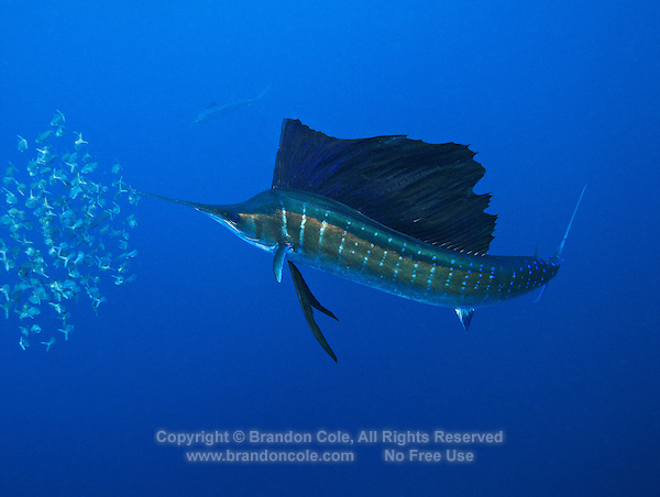 qh0370-D. Atlantic Sailfish (Istiophorus albicans) feeding on sardines. Some consider this the same species as the Indo-Pacific Sailfish (I. platypterus). Mexico, Gulf of Mexico..Photo Copyright © Brandon Cole. All rights reserved worldwide.  www.brandoncole.com..This photo is NOT free. It is NOT in the public domain. This photo is a Copyrighted Work, registered with the US Copyright Office. .Rights to reproduction of photograph granted only upon payment in full of agreed upon licensing fee. Any use of this photo prior to such payment is an infringement of copyright and punishable by fines up to  $150,000 USD...Brandon Cole.MARINE PHOTOGRAPHY.http://www.brandoncole.com.email: brandoncole@msn.com.4917 N. Boeing Rd..Spokane Valley, WA  99206  USA.tel: 509-535-3489