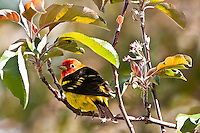 Western Tanager, Oregon