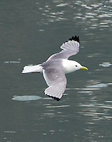 Black-legged kittiwake in breeding plumage flying