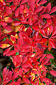 Autumn foliage of Enkianthus campanulatus var. campanulatus f. albiflorus, early November.