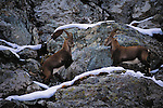 Alpine Ibex, Capra ibex ibex, Interlaken, Alps, Switzerland