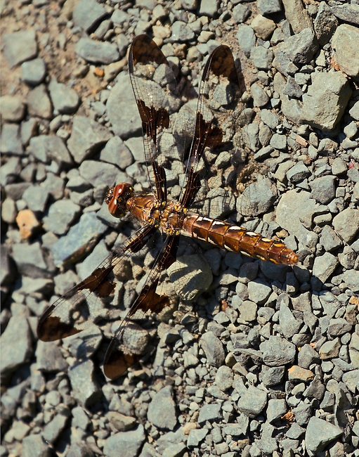 A Common Whitetail Skimmer dragonfly sitting on a bed of stones with wings fully open.