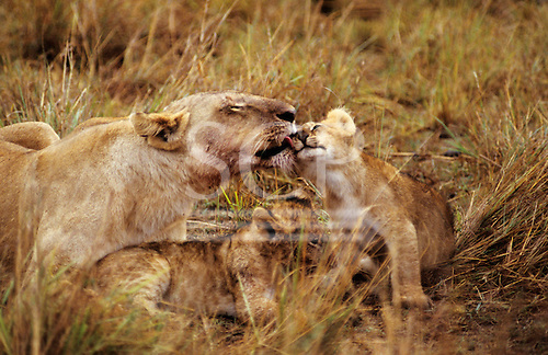 Maasai Mara Game Reserve, Kenya. Female lion (Panthera leo) with two cubs lying down washing one cub.