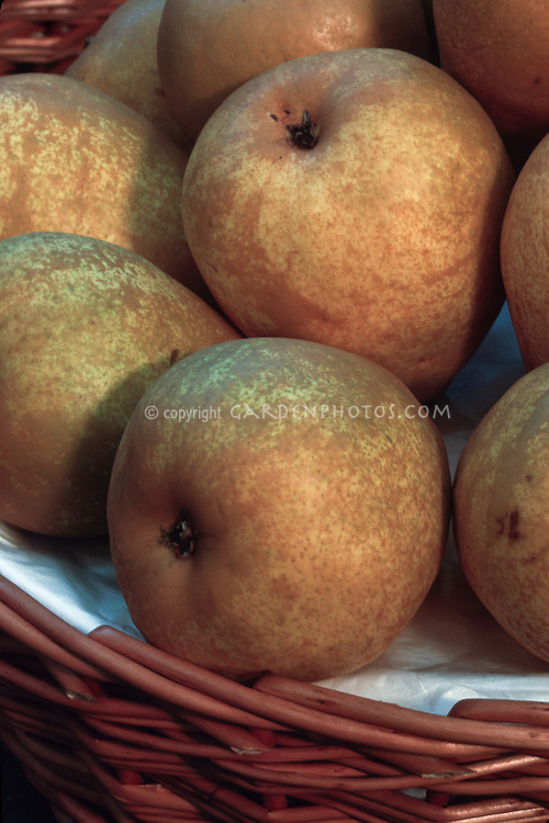 Apple 'Gorham' (Malus domestica 'Gorham') Dessert apple from NY, circa 1910, heirloom antique apple, picked fruit in a basket, harvested