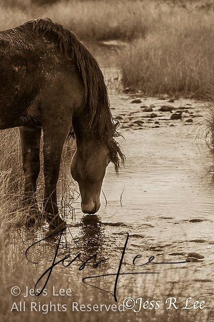 A photo of a wild mustang stallion drinking from a stream. Wild Horse Photography by western photographer Jess Lee. Pictures of mustangs in the West. Fine art images,Prints,photos Wild horse photo,wildhorses in the american west,