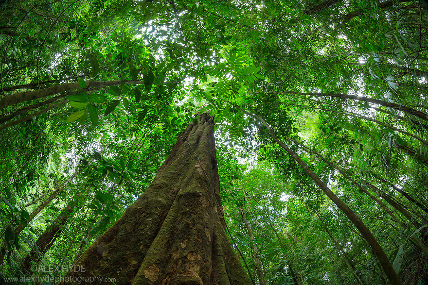 Looking up at rainforest canopy Osa Peninsula Costa Rica. May. & Rainforest Canopy - Osa Peninsula Costa Rica | Alex Hyde
