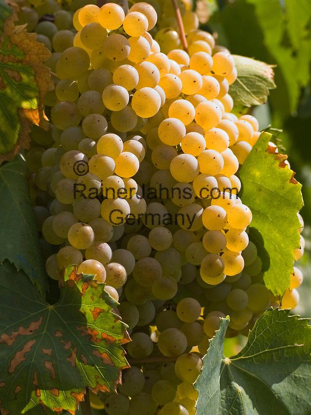 Italien, Latium, Berardelli bei Magliano Sabina: Weinbau in der Region Sabina - Weinrebe | Italy, Lazio, Berardelli near Magliano Sabina: wine growing at Sabina region - grapes