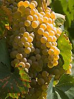 Italien, Latium, Berardelli bei Magliano Sabina: Weinbau in der Region Sabina - Weinrebe   Italy, Lazio, Berardelli near Magliano Sabina: wine growing at Sabina region - grapes