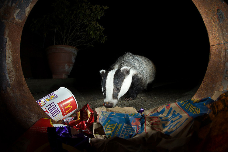 A badger raids a bin in a garden in Bedfordshire, UK
