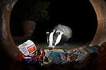 A badger raids a bin in a garden in Bedfordshire, UK