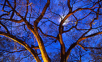 AVAILABLE FROM JEFF AS A FINE ART PRINT.<br /> <br /> AVAILABLE  JEFF FOR COMMERCIAL AND EDITORIAL LICENSING.<br /> <br /> Original image photographed on 35mm transparency film.<br /> <br /> Detail of a Tree Illuminated on an Autumn Night Against a Moonlit Sky, Stuyvesant Square Park, Lower Manhattan, New York City, New York State, USA