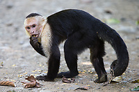 What I've found to be the most aggressive of Costa Rica's monkey species.